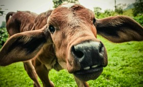 Vaches folles et humains irresponsables.